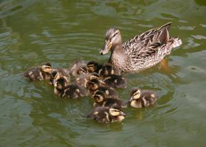 Female Mallard Duck and Ducklings