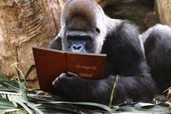 studious gorilla