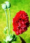 opium poppy in bloom