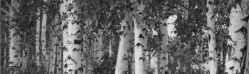 silver birch hopesgrovenurseries