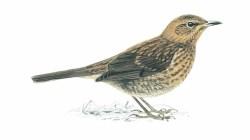 blackbird rspb